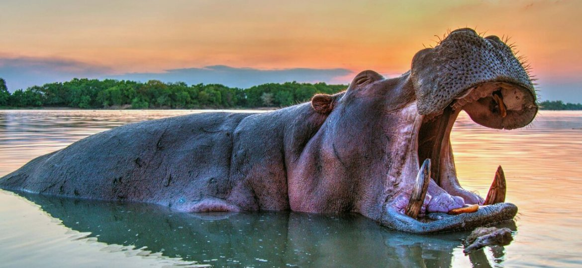 SHOT HIPPO RETRIEVAL